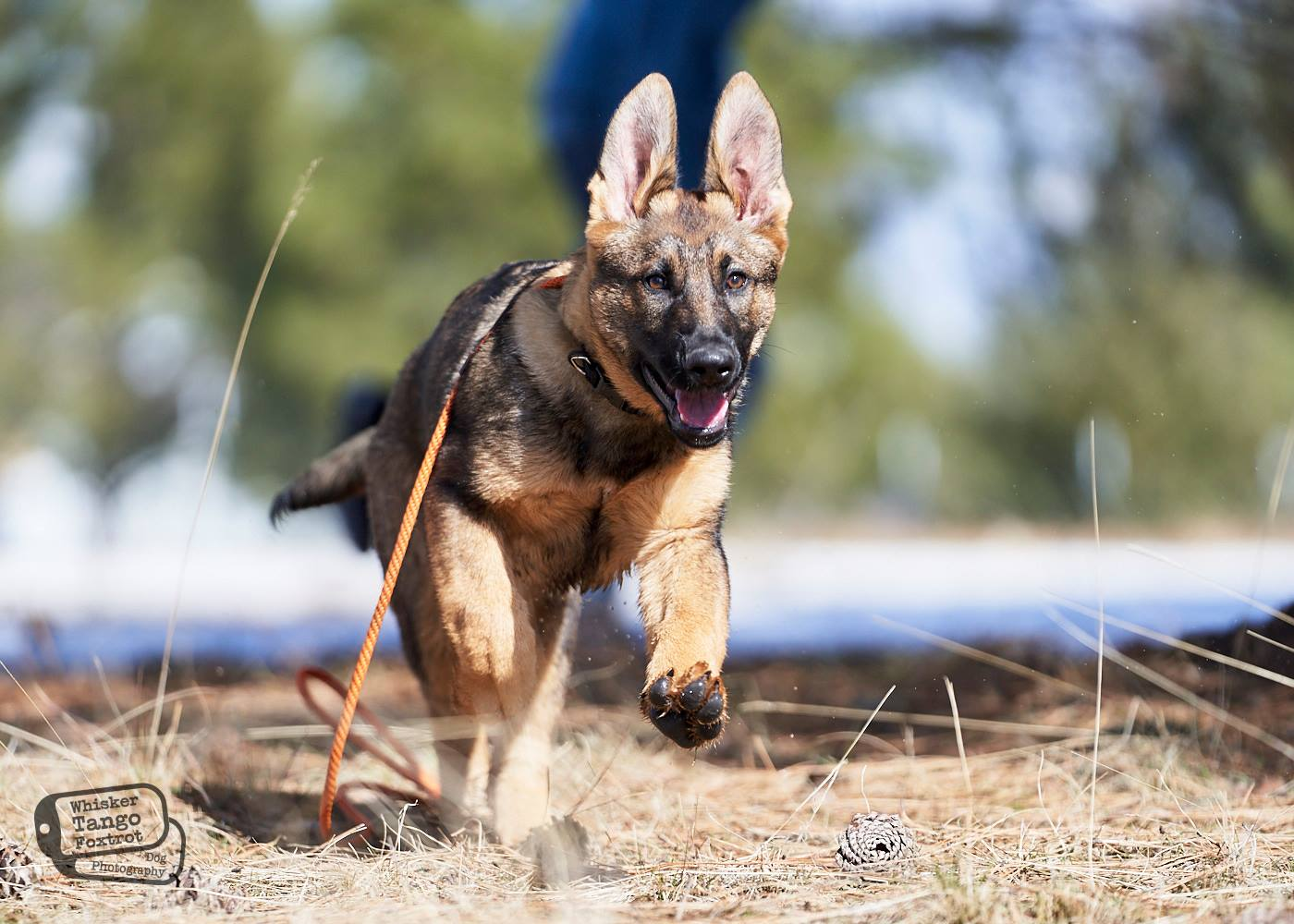 ethical k9 German shepherd breeders