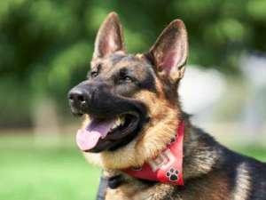 German shepherd dog behavior training