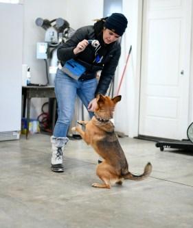 Cattle dog tricks training