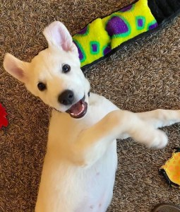 rescue puppy lab