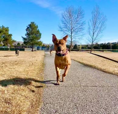 rottweiler pitbull boise rescue adoptable dogs
