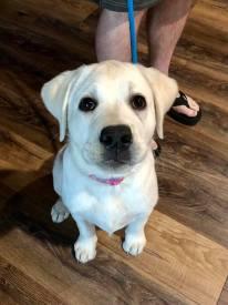 labrador puppy spokane wa