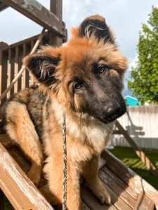 german shepherd puppy long coat