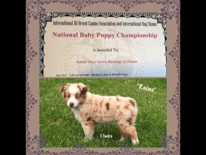 mini aussie puppy champion