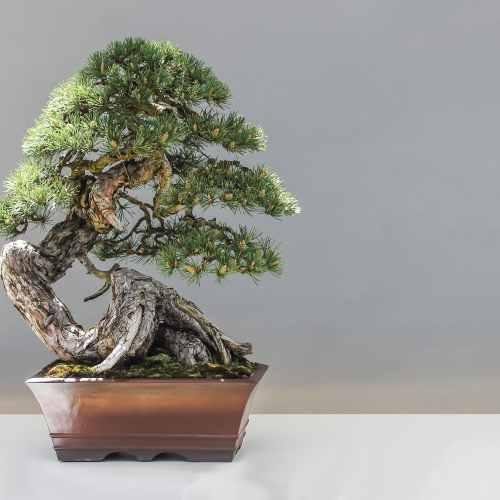 Well done pine bonsai