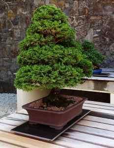 Hinoki Cypress bonsai tree