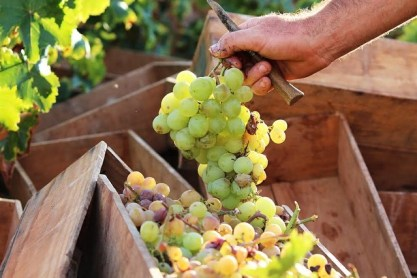 hand harvested grapes
