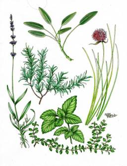 Val Webb - Culinary Herbs1 - Copy
