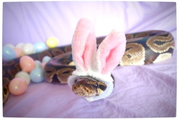 Vamers - Ermahgerd - Forget Snakes on a Plane, It Is All About Snakes Wearing Hats - Bunny Ears Snake