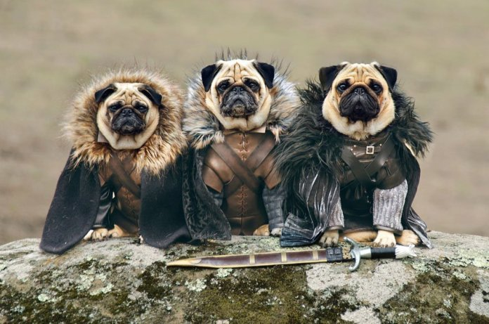 Vamers - Geekosphere - Mash-Up - The Pugs of Westeros star in A Game of Bones Dinner is Coming - Rob Stark, Ned Stark and Jon Snow