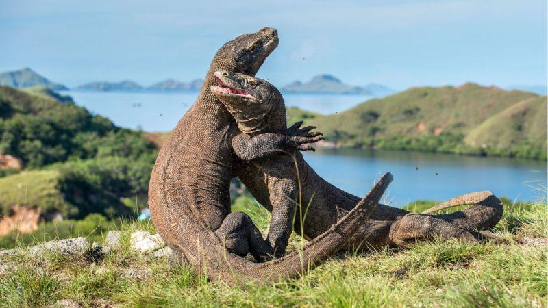 Já pensou em ficar tão próxima do famoso dragão de Komodo? Aventura maior não há!