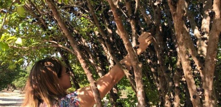 Fazenda e Vinícola Jabuticabal: Experimente Vinho de Jabuticaba