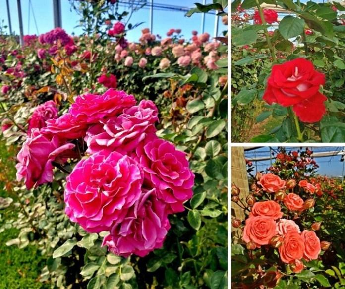 Campos de rosas em Holambra, campos de flroes em holambra, como visitar as plantações de flores em holambra