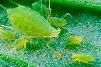 aphids-on-leaf