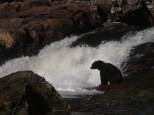 Black bear fishing for salmon at Lowe Inlet