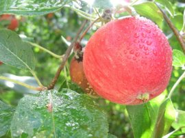 genetically modified food apples