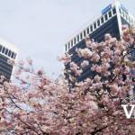 Cherry Blossoms and Skyscrapers