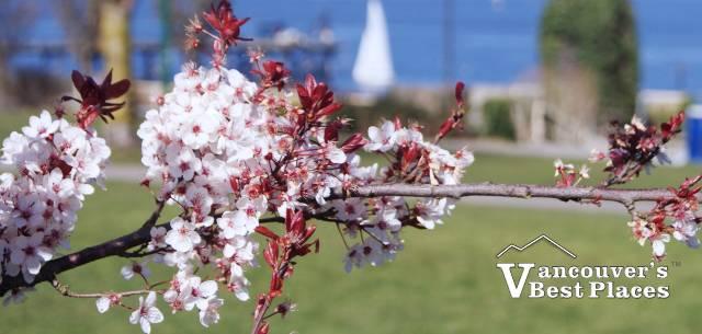 Kitsilano Blossoms