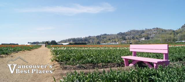 Tulip Fields and Pink Bench