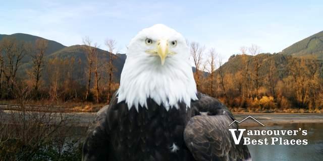 Fraser Valley Bald Eagle Festival