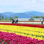 Rows of Flowers at Tulips of the Valley