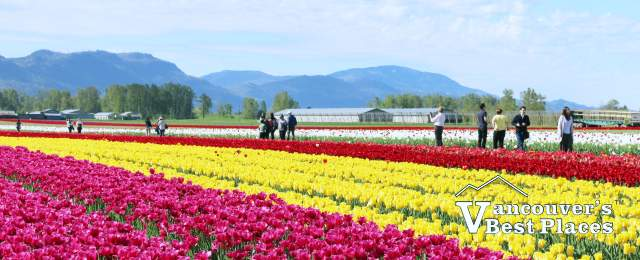 Rows of Flowers at the Chilliwack Tulip Festival