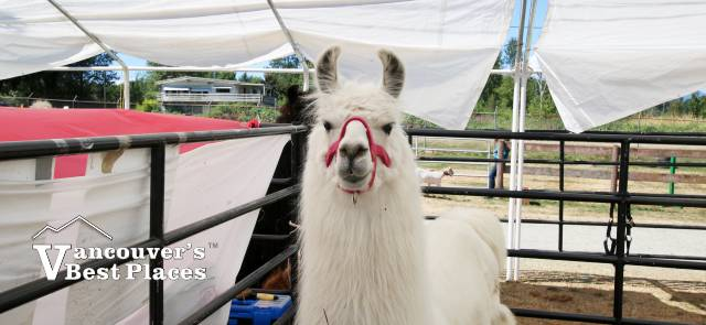 Llama at Maple Ridge Country Fest