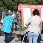 Apple Festival Trees for Sale (CS)