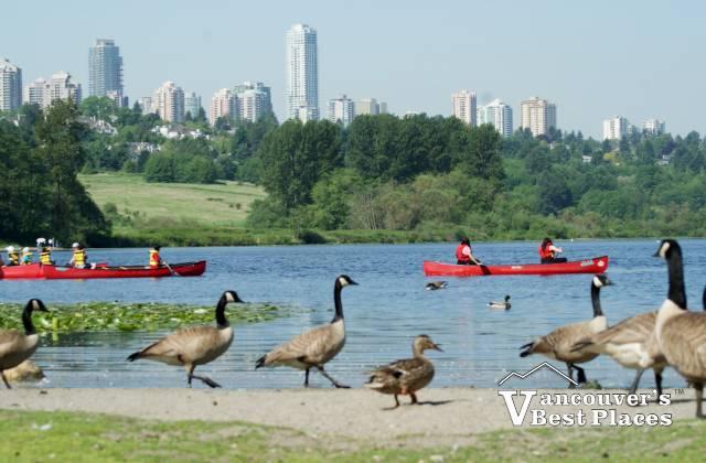 Deer Lake Geese and Canoes