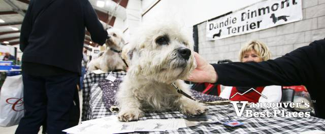 Dandie Terrier at Pet Lover Show