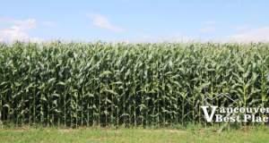 Vancouver Corn Mazes
