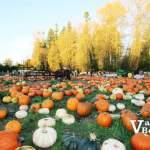 Port Kells Pumpkin Field