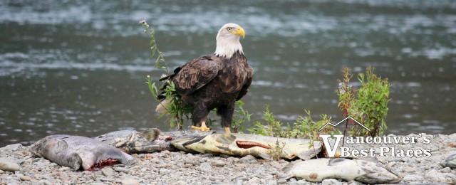 Bald Eagle with Dead Salmon