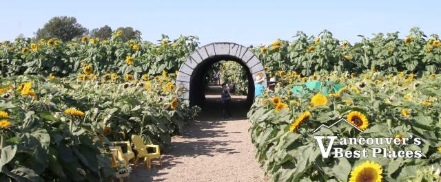 Richmond Sunflower Festival Field