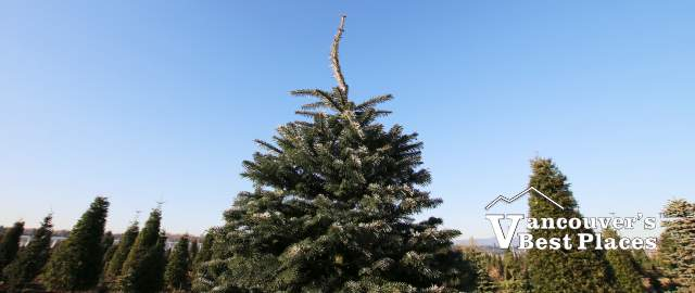 Lower Mainland Christmas Trees