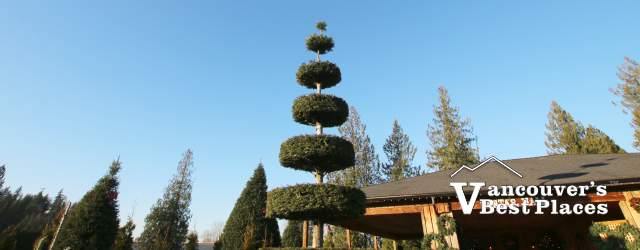 Aunt Leah's Christmas Tree Lot