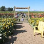 Sunflower Fields at Richmond Country Farms