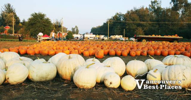 Maan Farms Pumpkin Patch