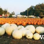 Pumpkin Field at Maan Farms