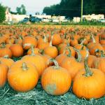 Maan Farms Pumpkin Patch