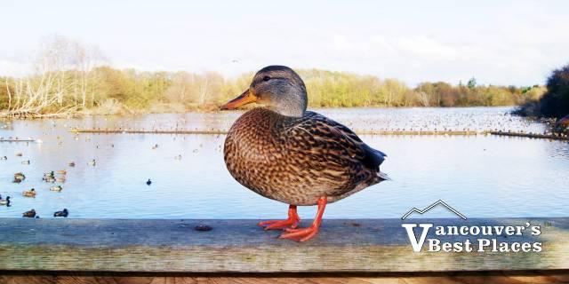 Duck on Railing at Sanctuary