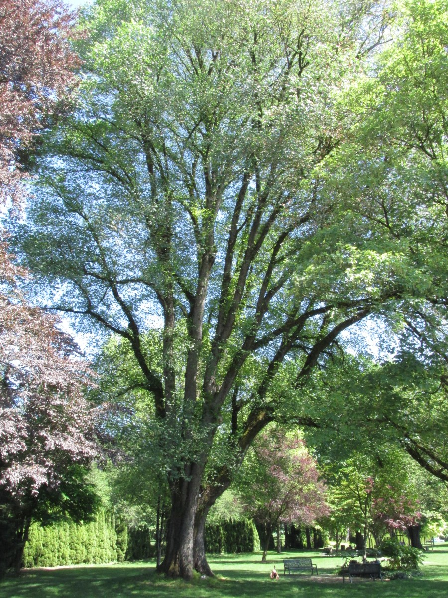 The Giant Elm Of Agassiz Vancouver Big Tree Hiking Guide