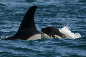 Forum - Protect the Orca: Protect the Strait
