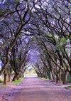 Jacarandas in Cullinan, South Africa