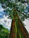 Rainbow Eucalyptus in Kauai