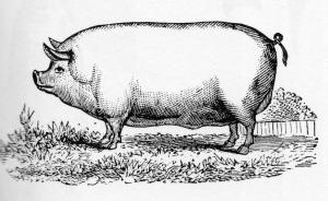 Swine And Stablility