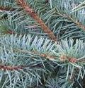 Blue Spruce Closeup