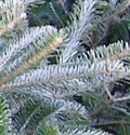 tree-fraser-fir-closeup