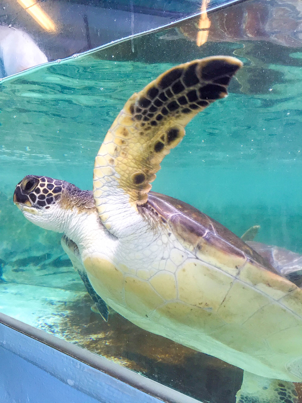 vandi-fair-dallas-fashion-blog-lauren-vandiver-southern-texas-travel-blogger-visit-long-beach-california-aquarium-of-the-pacific-behind-the-scenes-sea-turtle
