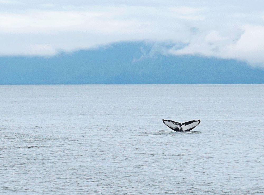 alaskan cruise humpback whale watching